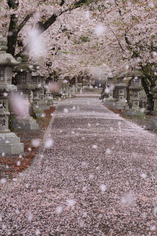 posti da visistare almeno una volta | hanami giappone fioritura dei ciliegi