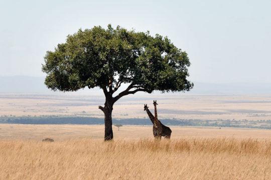 kenya masai mara: come organizzare un safari