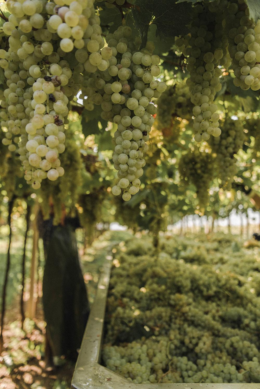 soave raccolta uva